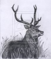 Stag by SuzanneHole