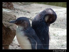 Penguins: Back to back by TVD-Photography