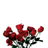 ROSE PNG TRANSPARENT -USE ANYWHERE by TheArtist100