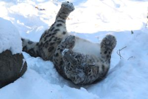 Snow Leopard Stock 41: Playing by HOTNStock