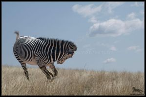 Zebra by backinthesaddle