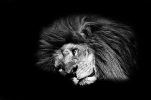 King Of The Jungle B+W Series II by Chelliusbee