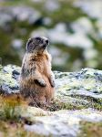 The marmot by mutrus
