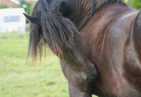 Friesian 8 by LBstockphotography