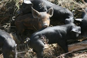 Pigs - Piglets 2 by ComsumedDarkness