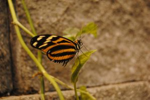 Isabella's Longwing (Eueides isabella) by fluffylink