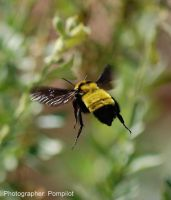 Flight of the Bumble Bee II by pompilot