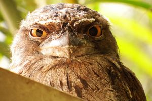 Tawny frogmouth 1 by wildplaces