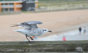 Laughing Gull 1 by BlueMoon30
