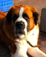 Saint Bernard by vfrrich