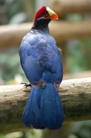 Violet Turaco by JBlue2389