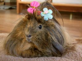 Guinea Pig by BW-Neelly
