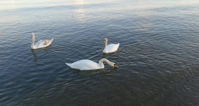 Swans at The Beach by Artipod