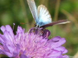 Blue butterfly on flower by Momotte2