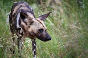 African Wild Dog by MarianGutu