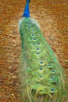 Peacock Tail by Cats-go-moo-always