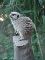 Meerkat 2 by Kaitrosebd-Stock