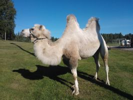 A camel on our school yard. by Aguawolf