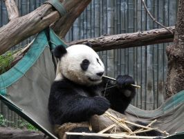 The Panda Eats Shoots and Leaves by X5-442