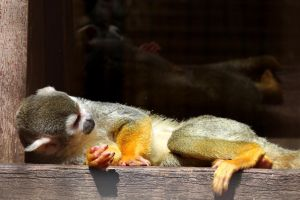 Squirrel Monkey by s-kmp