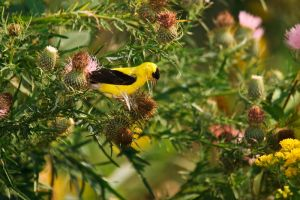 Goldfinch by Merlinstouch