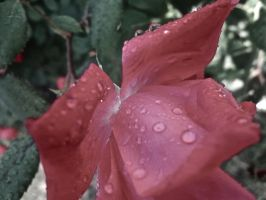 Droplets on a rose by mayaa199313