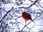 a cardinal in winter by Rare-Patent