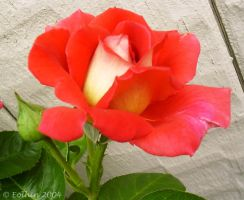 Red Rose Small 117 by Eolhin