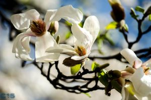 Magnolia in spring by case15