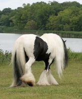 Gypsy Vanner Stock 3 by gaelic-lyrics