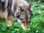 Timber Wolf looking for food by TheFunnySpider