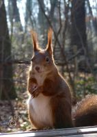 Squirrel 176 by Cundrie-la-Surziere