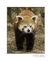 Red Panda by elshorty