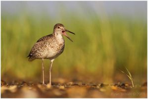 Willet by Ryser915