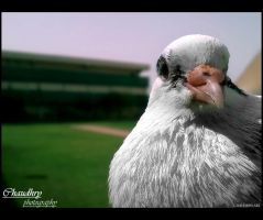 Pigeon by l-CHAUDHRY-l
