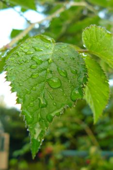 Raindrops on the Leaf by green-yellow