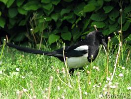Magpie in dandelions by Momotte2