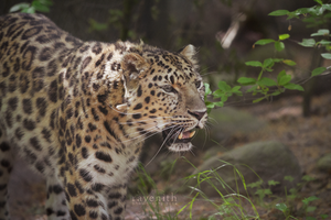 The new amur leopard. by Ravenith
