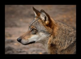 ...Portrait of Grey wolf... by canismaioris