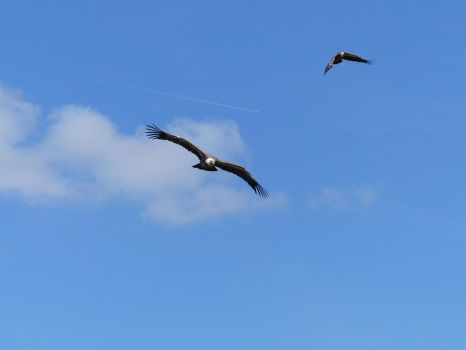 Flying vultures stock by LittleOph