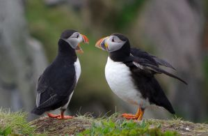 Puffins discussing by OldEric