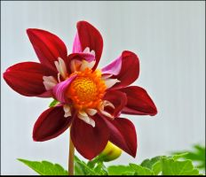 Lovely Dahlia by JocelyneR
