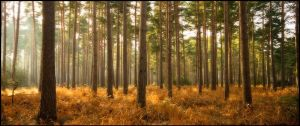 Pine Forest by Mohain
