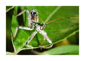 Assassin Bug by microcosmos