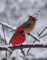Cardinal Pair by barcon53