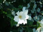 Mock Orange by Dragon-of-Heaven
