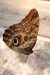 Forest Giant Owl Butterfly by Monkeystyle3000