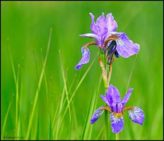 Flag Iris by andy-j-s
