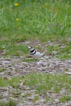 Killdeer by Chinaricat