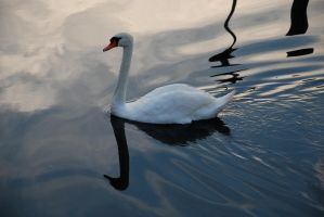 Swan by touchthetruth